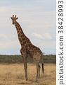 長頸鹿 熱帶大草原 薩凡納 38428993