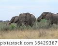 ช้างแอฟริกัน 38429367