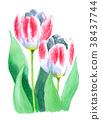 水彩绘的桃红色和白色郁金香 38437744