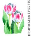水彩绘的桃红色和白色郁金香 38437745