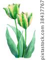 水彩绘的白色和绿色郁金香 38437767
