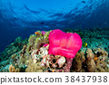 Clown fish inside red anemone in indonesia 38437938