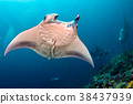 Manta in the blue ocean background portrait 38437939