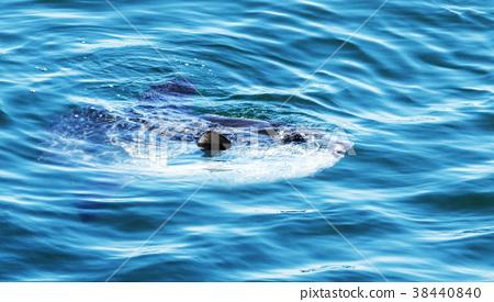 Sunfish surfacing in the Atlantic Ocean in Maine 38440840