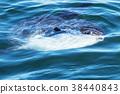 Sunfish swimming in the Atlantic Ocean in Maine 38440843