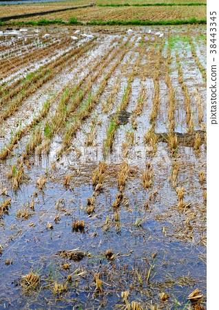 水稻 38443345