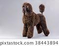 brown poodle 38443894