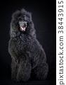 black poodle 38443915