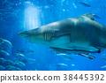 沙虎鯊 38445392
