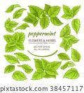 mint, peppermint, vector 38457117
