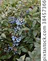 Berry Mahonia aquifolium 38457366
