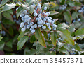Berry Mahonia aquifolium 38457371