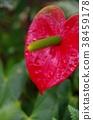 안수리움, 안스리움, 꽃 38459178