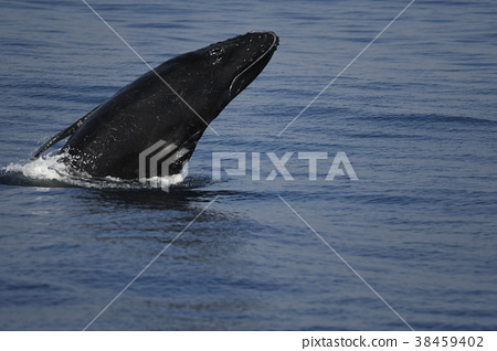 Humpback Whale Zatogan Megapa novaeangliae Humpback Whale 38459402
