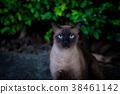 Siamese cat. 38461142