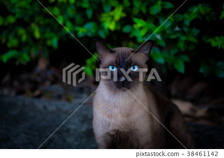 Siamese cat. 38461142