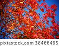 枫树 枫叶 红枫 38466495