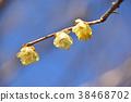 납매, 납매꽃, 노란색 38468702
