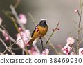 small, bird, redstart 38469930