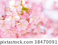 [Kanagawa] Kawazu Sakura 38470091