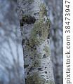 桦树的冬天高原 38473947