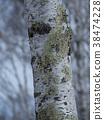 桦树的冬天高原 38474228