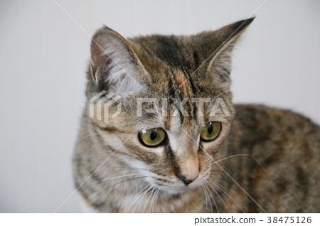 Cat 38475126