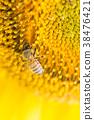 蜜蜂 向日葵 蟲子 38476421