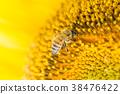 蜜蜂_向日葵 38476422