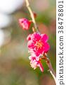 【도쿄】 매화 38478801