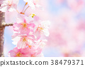 【카나가와 현】 카와 벚꽃 38479371