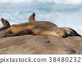 seal, sealion, selion 38480232