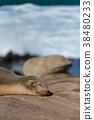 seal, sealion, selion 38480233