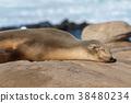 seal, sealion, selion 38480234