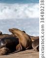 바다사자, 동물, 야생 동물 38480238