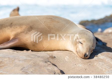 睡觉海狮关闭 38480250