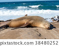睡覺海獅關閉 38480252