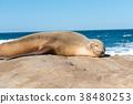 睡覺在岩石的海獅 38480253