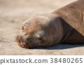 野生海狮 38480265