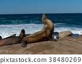 蝦扭曲野生海獅 38480269