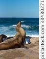 蝦扭曲野生海獅 38480271