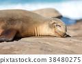 曬日光浴的野生海獅 38480275