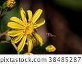 털머위, 꽃, 플라워 38485287