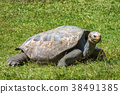 Turtle Terrestrial on a green grass. 38491385