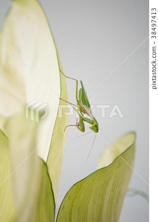 Close up mantis in nature. 38497413
