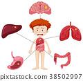 diagram, organs, art 38502997