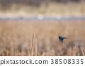 common, kingfisher, wild 38508335