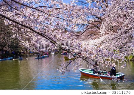 벚꽃 피는 이노 카시 라온시 공원 38511276