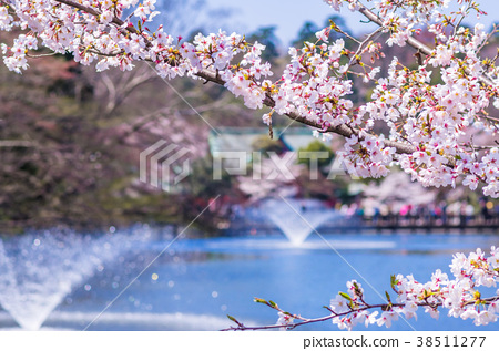 Cherry blossoms in Inokashira Park 38511277