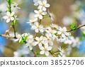 Blossom flowers  branch apricot springtime 38525706